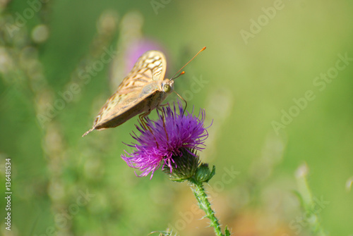 Poster Argynnis pandora - Cardinal cloak butterfly on a flower in meadow with a green b