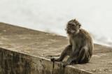 affe makake in tempel