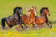 Horses run gallop in flower meadow  - 136492501