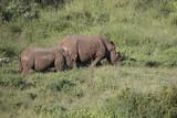 Free roaming white rhino Cerathoterium simum