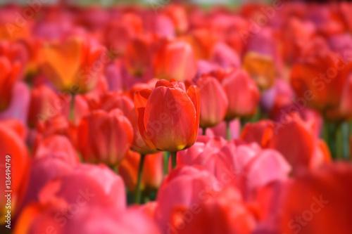 Fotobehang Rood Rote Tulpe in Tulpenfeld mit roten und pinken Tulpen