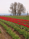 Tulip Field with the group of trees on the background