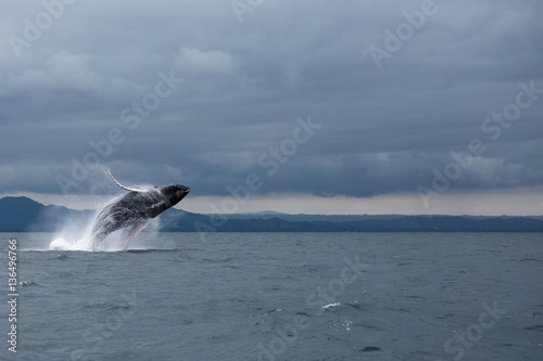 Poster Jumping humpback whale