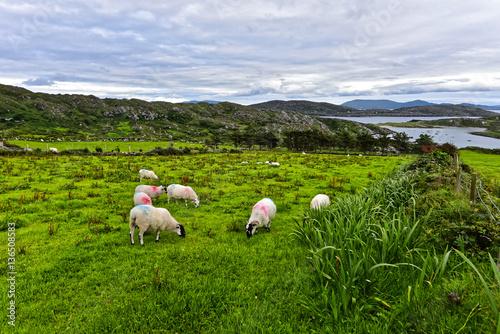Schafe in Irland - Scottish Blackface Poster