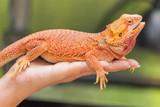 close up bearded dragon (Pogona Vitticeps ) australian lizard on hand selective soft focus