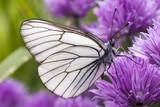 Butterfly Aporia Crataegi on onion flowers