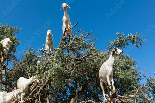 Argan trees and the goats on the way between Marrakesh and Essaouira in Morocco Poster