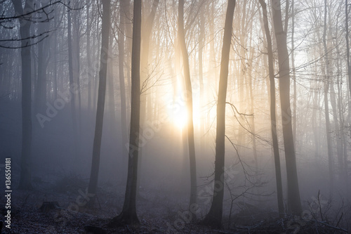 Fototapeta Sunlight enters misty deciduous forest before sunset. Mysterious woods.