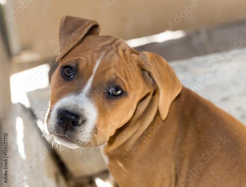 Portrait redhead pit bull dog Poster
