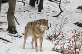 Wolf into the snow