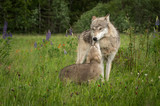 Grey Wolf (Canis lupus) Greeted by Pup