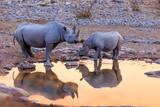 Rhinoceros drinking in Etosha park at sunset Namibia