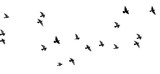 flock of pigeons on a white background - 136587137