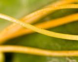 yellow plant parasite