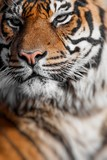 Close-up of a Tigers face.Selective focus.