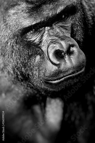 Face portrait of a gorilla male © Curioso Photography