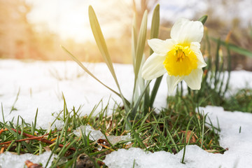 Daffodils in late spring snow