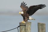 American Bald Eagle (Haliaeetus leucocephalus) landing on post wings open, St Cloud, Florida, USA