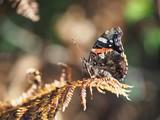 Papillon Vulcain sur branche de fougère