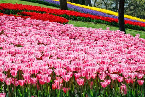 Aluminium field of tulip flowers in park Emirgan in Turkey, Istanbul, flower natural carpet. yellow red, pink and lilac color .