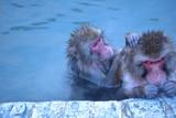 温泉で毛づくろいする仲良し猿