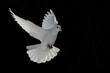 Quadro barış güvercini
