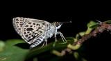 Butterfly, Butterflies feed on green leaf, Silver-breast Ace ( Sovia albipecta )