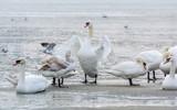 Swans, seagulls and ducks on ice frozen sea. Winter.