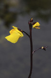 Utricularia vulgaris / Utriculaire commune - 136630591