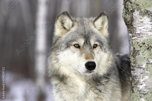 Fotobehang Wolf Canis lupus / Loup commun