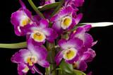 Dendrobium nobile - 136643125