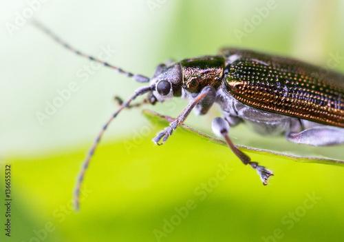 Poster Byturidae, colorful shiny parasite extreme macro shot