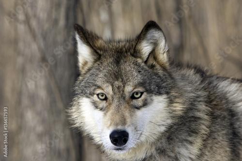 Fotobehang Wolf Canis lupus / Loup commun