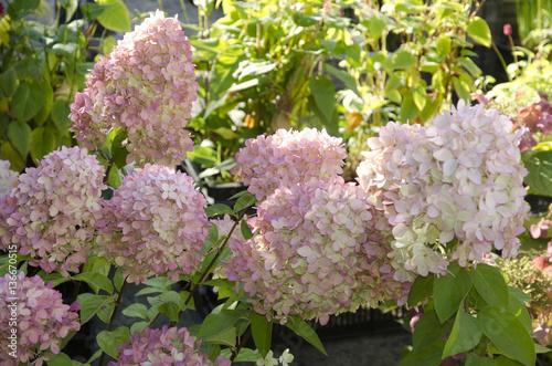 Plexiglas Hydrangea Hydrangea paniculata / Hortensia