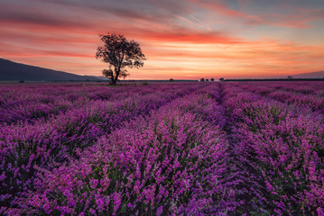 Magnificent lavender field at sunrise with lonely tree. Summer sunrise landscape, contrasting colors, colorful clouds.