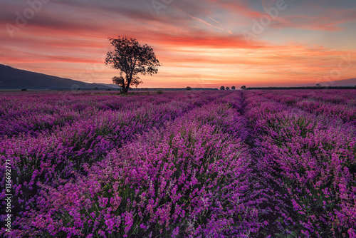 Papiers peints Morning Glory Magnificent lavender field at sunrise with lonely tree. Summer sunrise landscape, contrasting colors, colorful clouds.