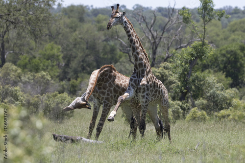 Poster Sequence neck fighting between two male giraffes