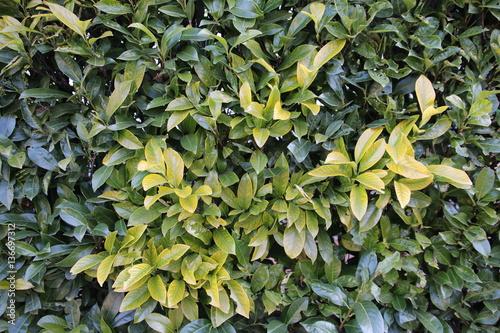 Texture Di Siepe Verde Buy Photos Ap Images Detailview