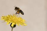 Abeille butinant sur une fleur jaune