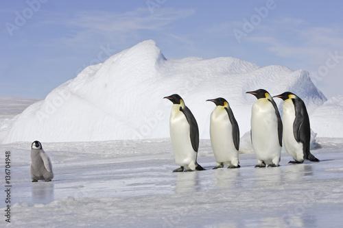 Papiers peints Antarctique Aptenodytes forsteri / Manchot empereur