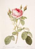 Illustration / Rosier mousseux à fleurs doubles