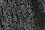 Close up to bark texture of tree in grayscale colors with select