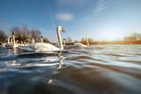 Beautiful white swans on a lake
