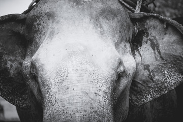 Art, black and white photo portrait close-up of elephant. Animal of Thailand.