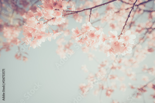 Beautiful vintage sakura tree flower (cherry blossom) in spring. retro color tone style. - 136753571