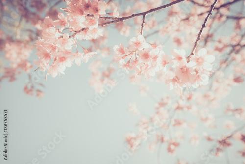 Beautiful vintage sakura tree flower (cherry blossom) in spring. retro color tone style. - 136753571