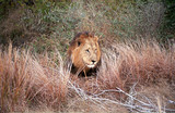 Lion, Kruger National Park, South African Republic