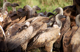 White-backed vultures, Kruger National Park, South African Repub