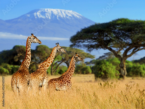 Poster Three giraffe on Kilimanjaro mount background