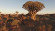 Panning landscape view of quiver trees (Aloe dichotoma) at sunset, Namibia, southern Africa